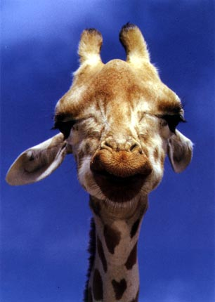 photograph of a cool giraffe