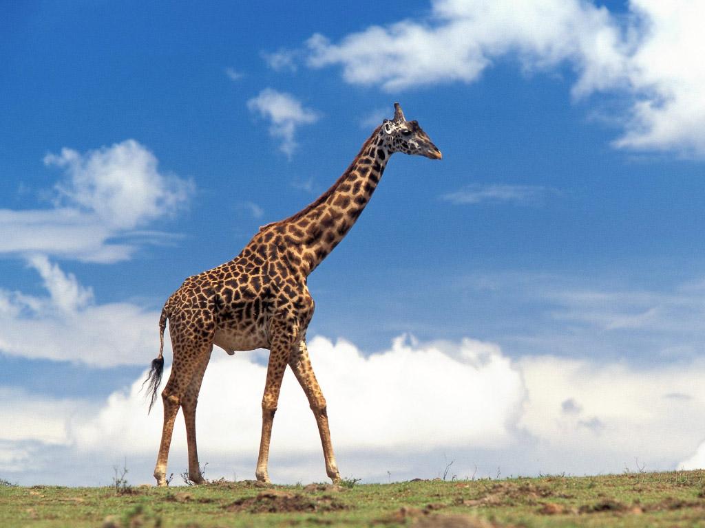 photograph giraffe on the move