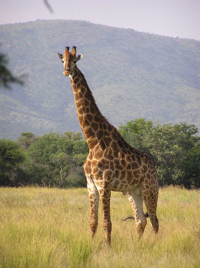 photograph of curious giraffe