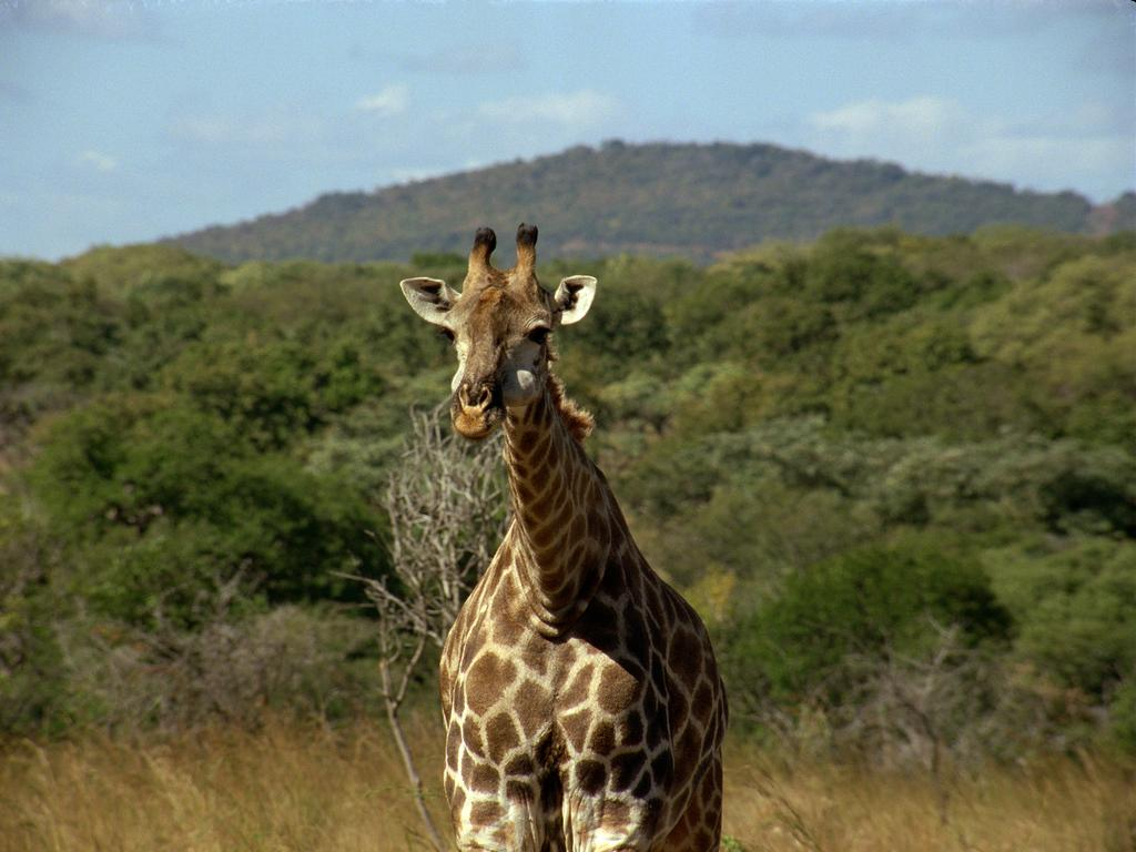 giraffe on camera