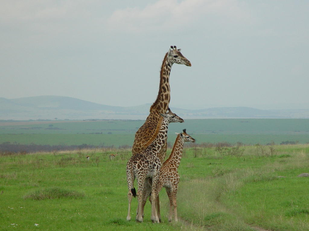 photograph of giraffes