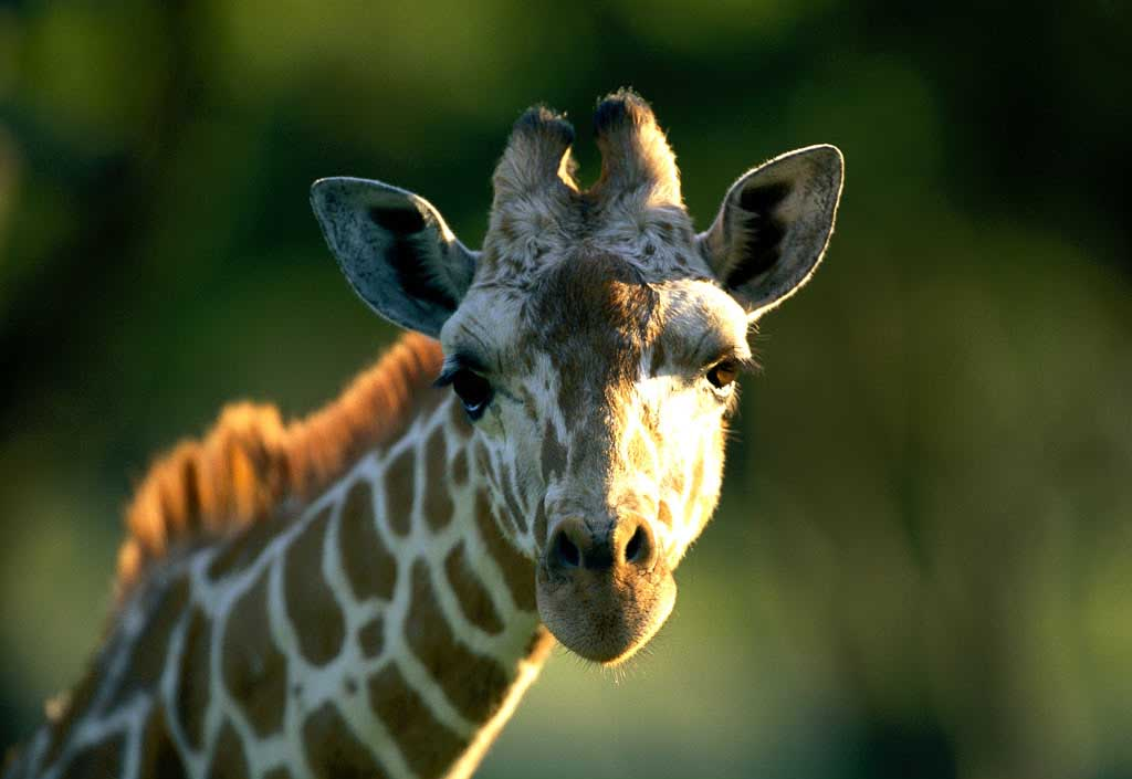 photograph of giraffe