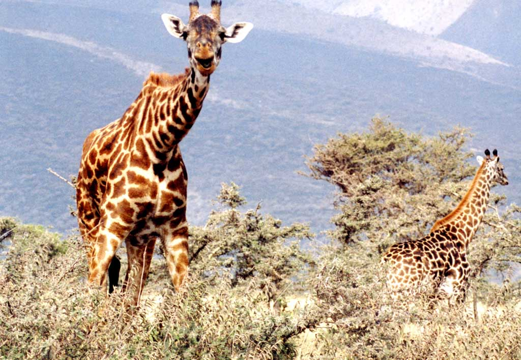 photograph of two giraffes