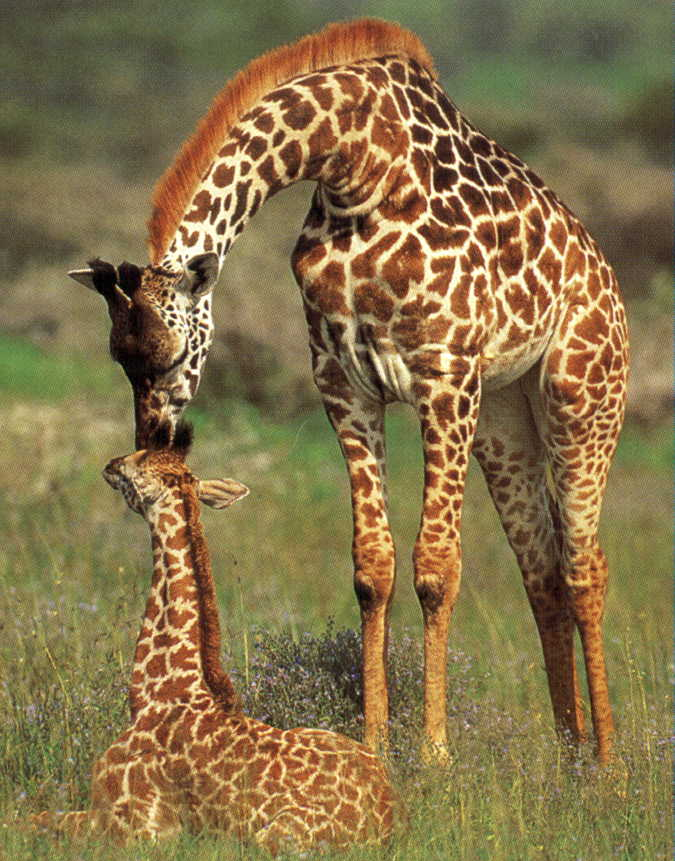 photograph of  giraffe and baby