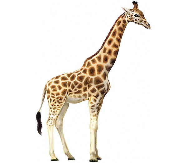 giraffe, jerapah, wonder animal, study english, sdii al-abidin