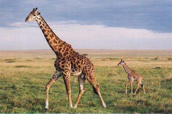 photograph of giraffe and her calf
